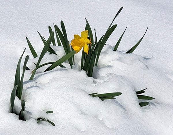daffodils and snow 417 2020